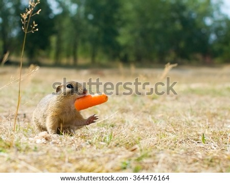 The European Ground Squirrel is taking a carrot  - stock photo