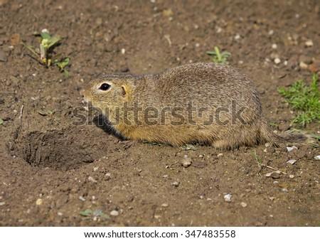 The European ground squirrel (Spermophilus citellus)     - stock photo
