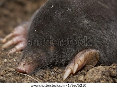 The European mole (Talpa europaea)       - stock photo