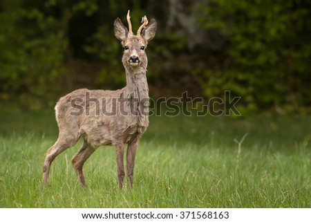 The European Roe Deer (Capreolus capreolus) on the meadow with green forest in blurred background.