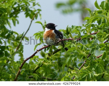 The European stonechat (Saxicola rubicola) is a small passerine bird that was formerly classed as a subspecies of the common stonechat.