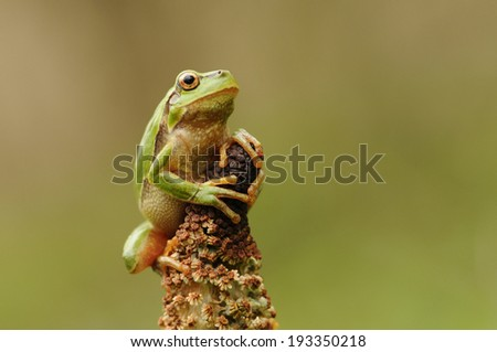 The European tree frog - stock photo