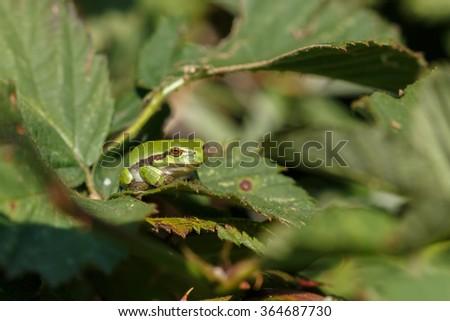The European tree frog (Hyla arborea formerly Rana arborea) - stock photo