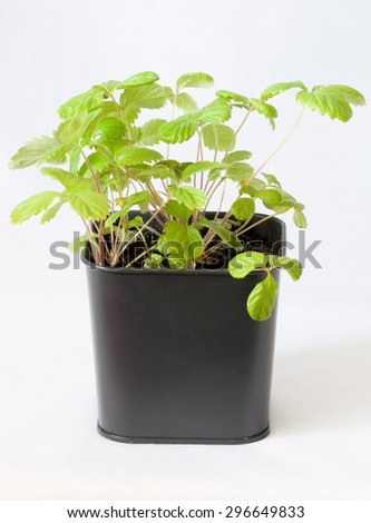 the everbearing strawberries in a pot seedlings