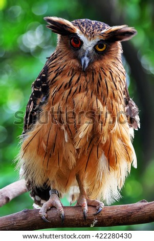 The evil eyes. ( Eagle Owl, Bubo bubo). - stock photo