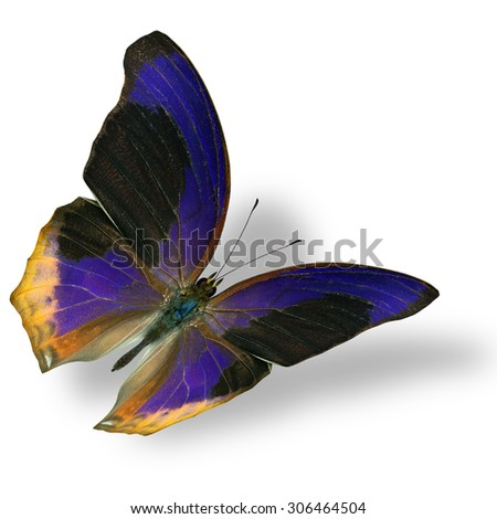 The exotic flying Large Assyrian butterfly (terinos atlita) the beautiful black and blue butterfly on white with nice soft shadow beneath - stock photo