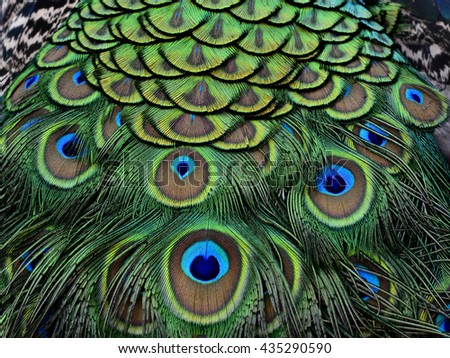The exotic velvet green and blue spots on Indian Peacock body feathers, the most beautiful bird feathers background
