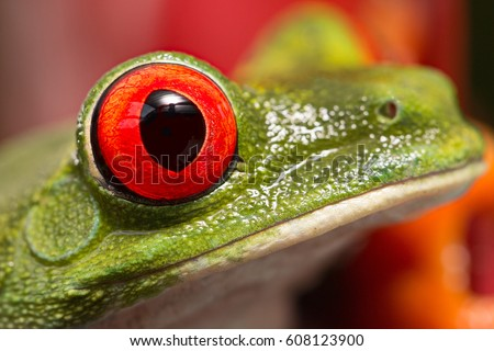The eye of a red eyed tree frog one of the most beautiful in the animal kingdom