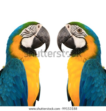 The eye of blue and yelow macaw love bird  with white background - stock photo