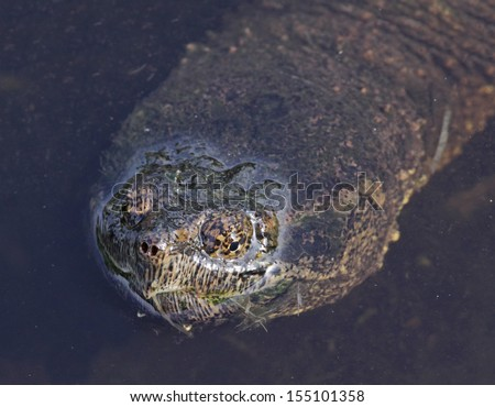 The face of a Common Snapping Turtle (Chelydra serpentina) surfacing in a pond.  Shot in Cambridge, Ontario, Canada.  - stock photo