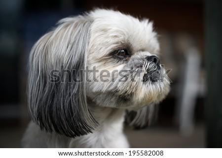 The face of a cute and newly groomed Shih Tzu dog staring intently off camera. - stock photo