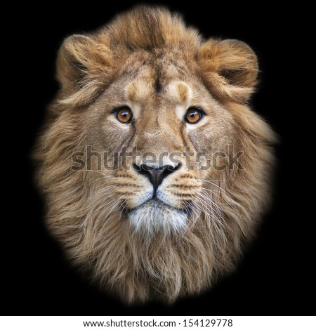 The face of an Asian lion, isolated on black background. The King of beasts, biggest cat of the world, looking straight into the camera. The most dangerous and mighty predator of the world. - stock photo
