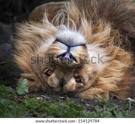 The face of an Asian lion, lying on his back. Square image. The King of beasts, biggest cat of the world, looking straight into the camera. The most dangerous and mighty predator of the world. - stock photo