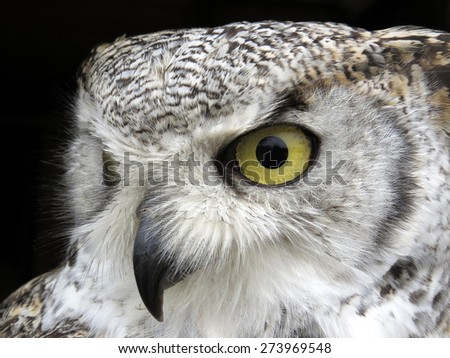 The face of an eagle-owl on a black background - stock photo