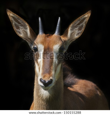 The face portrait of a young sable antelope female, isolated on black background. Wild beauty of an African girl. Hippotragus niger. - stock photo