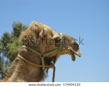 The facial expression of a camel with one hump in the desert of Australia - stock photo