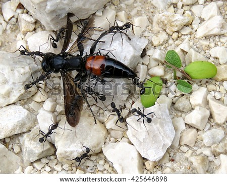 The Fallen Mighty - Spider wasp being taken away by ants - stock photo
