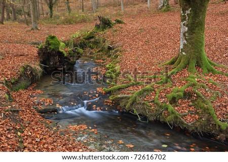 The falling leaves colors the autumn season in the forest. Otzarreta, Bizkaia, Spain - stock photo
