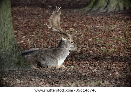 The Fallow Deer (Dama dama) - lying in the dry leaves. Autumn. - stock photo