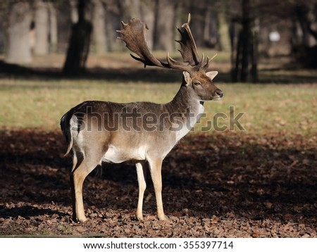The Fallow Deer (Dama dama) - portrait in autumn sunlight.