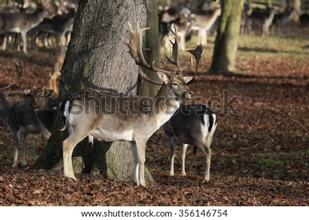 The Fallow Deer (Dama dama) - standing in the dry leaves. Autumn. - stock photo