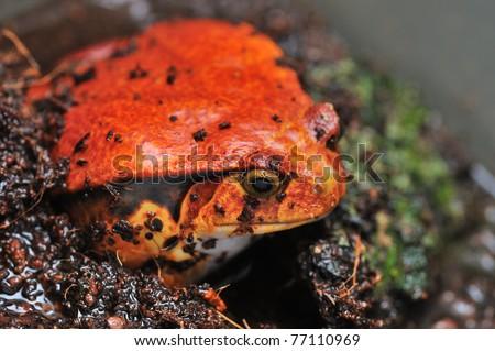 The False Tomato Frog, Dyscophus guineti - stock photo