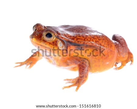 The false tomato frog Dyscophus quineti isolated on white - stock photo