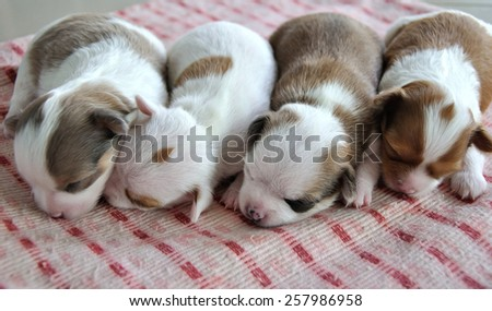 The Family,Chihuahua puppies. - stock photo
