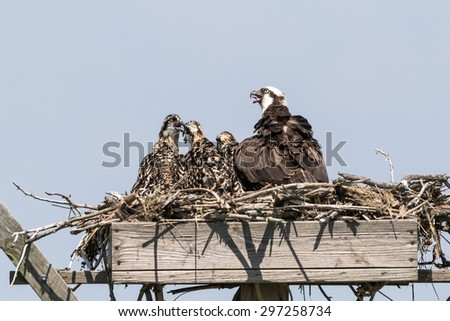 The Family of Osprey  - stock photo