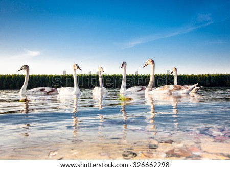 The family of swans floats on the Danube River in Novi Sad, Serbia. - stock photo
