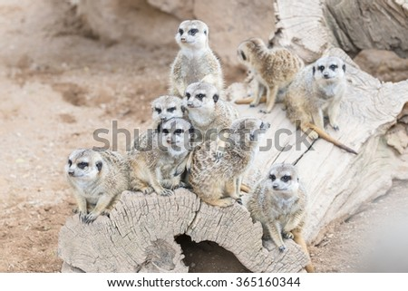 The family of the South African meerkats (Suricate)