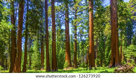 the famous big sequoia trees are standing in Sequoia National Park, Giant village area , big famous Sequoia trees, mammut trees - stock photo