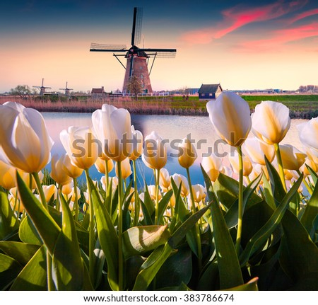 The famous Dutch windmills. View through white tulips on the Netherlands canals. Sunset in Holland. Creative collage.