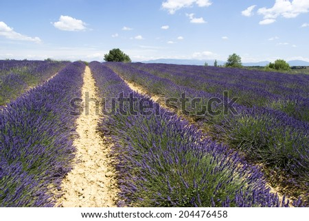 The famous lavender fields in the plateau Valensole, France