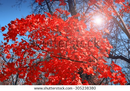 The famouse Red Maple in Asia  - stock photo