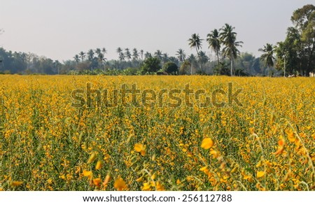 The farm of Crotalaria Juncea flower which use for soil improvem - stock photo