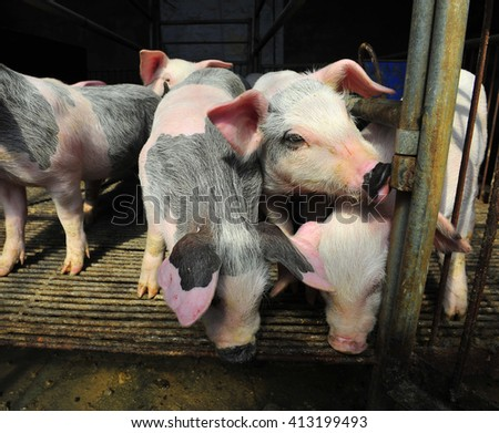 The farm pigs