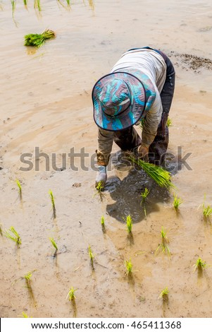 The farmer transplant the rice sprout in the field.