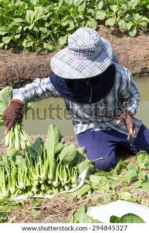 The farmer working with fresh green vegetables from his garden, He cut of many green plant and array them on white plate before pack and send to fresh market.