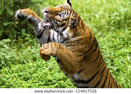 The fast motion of the jumping Bengal tiger - stock photo