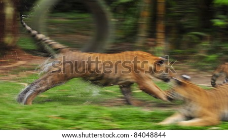 The fast motion of the running Bengal tiger in forest - stock photo