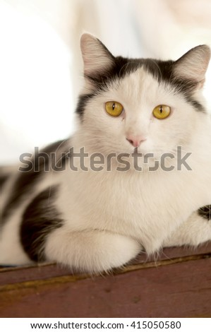 The fat cat lying on floor staring at something - stock photo