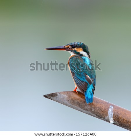 The female Common Kingfisher (Alcedo atthis) is sitting on bamboo stick. - stock photo