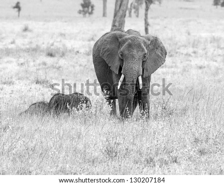 The female elephant, and two of the young in the Serengeti National Park - Kenya, Africa (black and white) - stock photo