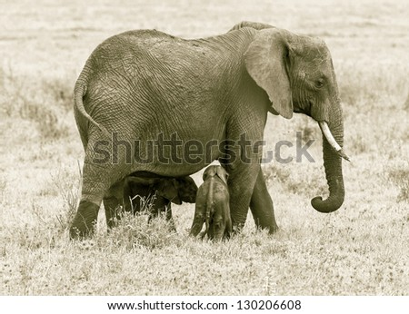 The female elephant, and two of the young in the Serengeti National Park - Tanzania, Eastern Africa (stylized retro) - stock photo
