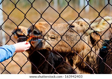 The female hand feeds a young moose carrots through a steel mesh