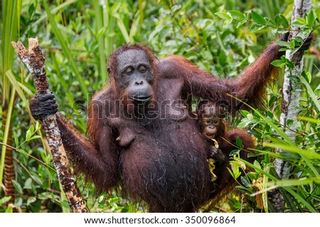 The female of the orangutan with a baby in a thicket of grass. Indonesia. The island of Kalimantan (Borneo). An excellent illustration.