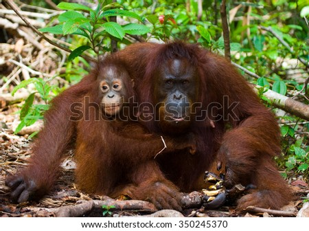 The female of the orangutan with a baby on ground. Indonesia. The island of Kalimantan (Borneo). An excellent illustration.