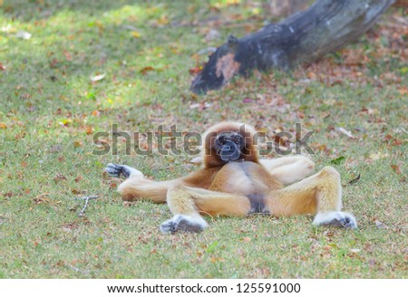 The female of White cheeked gibbon in relaxing position - stock photo