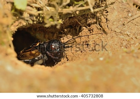 The field cricket - Gryllus campestris in his burrow. Black cricket on the brown bright clay.